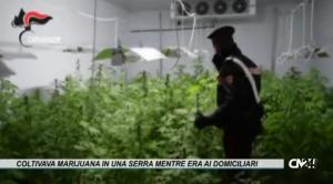 Coltivava marijuana in una serra mentre era ai domiciliari, arrestato